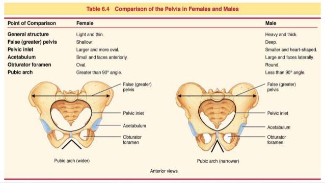 Effects of Estrogen Hormone on Pelvis Bone
