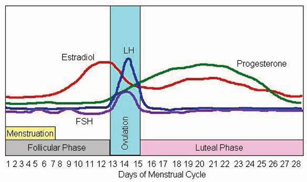 Estradiol Menstrual Cycle
